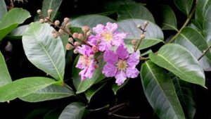 banaba-leaves